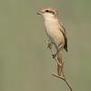 Isabelline Shrike (Lanius isabellinus)