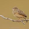 Jerdon's Bushlark (Mirafra affinis)