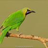 Jerdon's Leafbird (Chloropsis jerdoni)