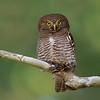 Jungle Owlet (Glaucidium radiatum)