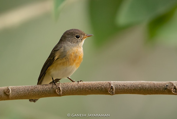 Kashmir Flycatcher (Ficedula subrubra)