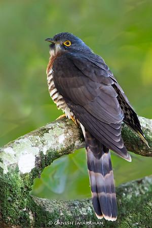 Large Hawk-cuckoo (Hierococcyx sparverioides)