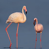 Lesser Flamingo (Phoeniconaias minor) with Greater Flamingo