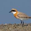 Lesser Sandplover (Charadrius mongolus)