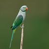 Malabar Parakeet (Psittacula columboides)