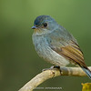 Nilgiri Flycatcher (Eumyias albicaudatus) - Female