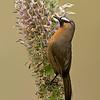 Nilgiri Laughingthrush (Trochalopteron cachinnans)