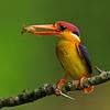 Oriental Dwarf-kingfisher (Ceyx erithaca)