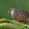 Painted Bush-quail (Perdicula erythrorhyncha)