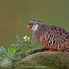 Painted Bush-quail (Perdicula erythrorhyncha)