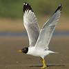 Pallas Gull (Larus ichthyaetus)