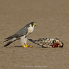 Peregrine Falcon (Falco peregrinus) with a Montagu's Harrier Kill
