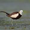Pheasant-tailed Jacana (Hydrophasianus chirurgus)