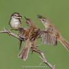 Plain Prinia (Prinia inornata) feeding juveniles