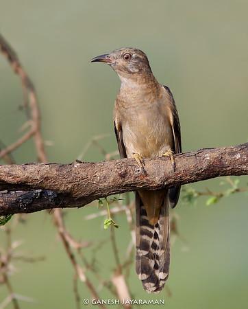 Plaintive Cuckoo (Cacomantis merulinus)