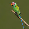 Plum-headed Parakeet (Psittacula cyanocephala)