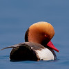Red-crested Pochard (Netta rufina)