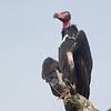 Red-headed Vulture (Sarcogyps calvus)