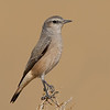 Red-tailed Wheatear (Oenanthe chrysopygia)