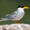 River Tern (Sterna aurantia)