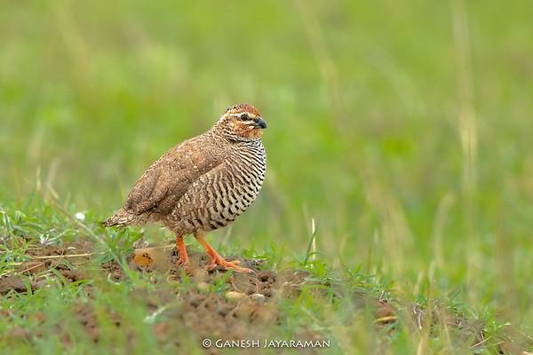 Rock Bush-quail (Perdicula argoondah)