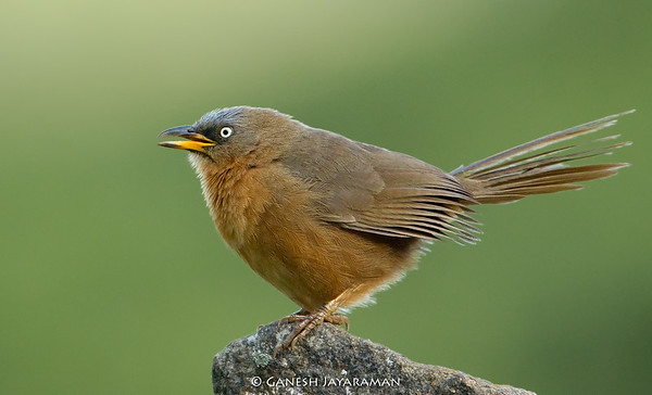 Rufous Babbler (Turdoides subrufa)