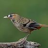Rufous-chinned Laughingthrush (Garrulax rufogularis)