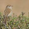 Rufous-fronted Prinia (Prinia buchanani)