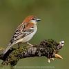 Russet Sparrow (Passer cinnamomeus)