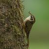 Rusty-flanked Treecreeper (Certhia nipalensis)