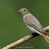 Rusty-tailed Flycatcher (Ficedula ruficauda)