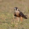 Shaheen Falcon (Falco peregrinus peregrinator)