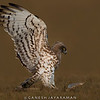 Short-toed Snake-eagle (Circaetus gallicus)