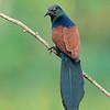 Southern Coucal (Centropus sinensis parroti)