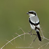 Southern Grey Shrike (Lanius meridionalis)
