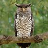Spot-bellied Eagle-owl (Bubo nipalensis)