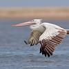 Spot-billed Pelican (Pelecanus philippensis)