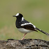 Spotted Forktail (Enicurus maculatus)