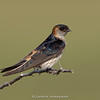 Streak-throated Swallow (Petrochelidon fluvicola)