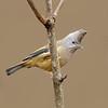 Stripe-throated Yuhina (Yuhina gularis)
