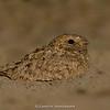 Sykes's Nightjar (Caprimulgus mahrattensis)