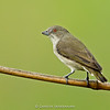 Thick-billed Flowerpecker (Dicaeum agile)