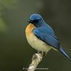 Tickell's Blue-flycatcher (Cyornis tickelliae)