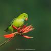 Vernal Hanging-parrot (Loriculus vernalis)