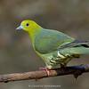 Wedge-tailed Green-pigeon (Treron sphenurus)
