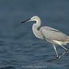 Western Reef-egret (Egretta gularis)