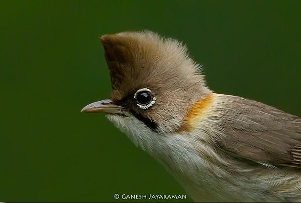 Whiskered Yuhina (Yuhina flavicollis)