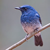 White-bellied Blue-flycatcher (Cyornis pallidipes)