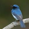 White-bellied Blue-flycatcher (Cyornis pallidipes)