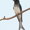 White-bellied Drongo (Dicrurus caerulescens)